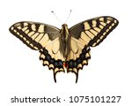 machaon butterfly with open... | Shutterstock . vector #1075101227