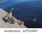 Mallard Duck And Baby Duck
