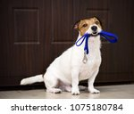 Stock photo dog behind door waiting and welcoming home its owner with leash in mouth 1075180784