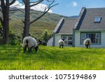 sheep grazing in a green field  ... | Shutterstock . vector #1075194869