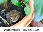 Closeup Brown Toad Sit On The...