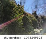 conifer green nature background | Shutterstock . vector #1075249925