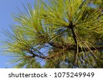 conifer green nature background | Shutterstock . vector #1075249949