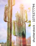 a tall cactus against the sky....   Shutterstock . vector #1075377794