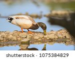 wild duck swimming in nature... | Shutterstock . vector #1075384829