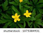 anemone ranunculoides  the... | Shutterstock . vector #1075384931