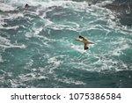 flying gannet  saltee island ... | Shutterstock . vector #1075386584
