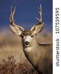Mule Deer Buck Portrait  In...