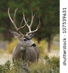 Small photo of Mule Deer Buck with huge antlers, profile portrait
