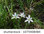prizemlin indian onion white. | Shutterstock . vector #1075408484