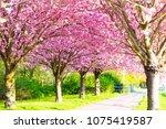 cherry blossom   sakura and... | Shutterstock . vector #1075419587