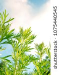Small photo of Leaves of absinthe wormwood plants closeup