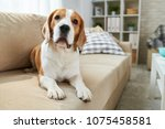 calm clever old beagle dog... | Shutterstock . vector #1075458581
