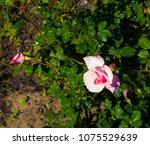 beautiful pale pink heritage...   Shutterstock . vector #1075529639