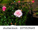 beautiful pale pink heritage...   Shutterstock . vector #1075529645