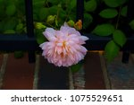 beautiful pale pink heritage... | Shutterstock . vector #1075529651
