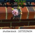 beautiful pale pink heritage... | Shutterstock . vector #1075529654