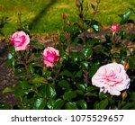 beautiful pale pink heritage... | Shutterstock . vector #1075529657