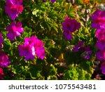 beautiful  double mauve  pink ... | Shutterstock . vector #1075543481