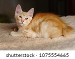 lovely red thoroughbred kitten. ... | Shutterstock . vector #1075554665