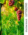 red grapes on vine stock at... | Shutterstock . vector #1075582985