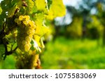 grapes on vine stock at wine... | Shutterstock . vector #1075583069