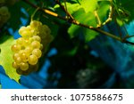 vineyard anti bird protection...   Shutterstock . vector #1075586675