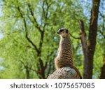 meerkats in the zoo | Shutterstock . vector #1075657085