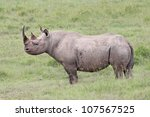 Постер, плакат: The Black Rhinoceros or