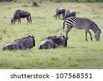 Wild Plains Zebra  Equus Quagg...