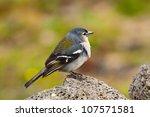 the azorean bullfinch  pyrrhula ... | Shutterstock . vector #107571581