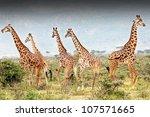 a wild group of masai giraffe... | Shutterstock . vector #107571665