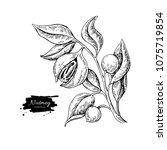 nutmeg plant branch vector... | Shutterstock .eps vector #1075719854