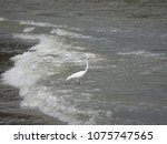 great white egret wading on the ... | Shutterstock . vector #1075747565