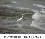 great white egret wading on the ... | Shutterstock . vector #1075747571