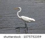 great white egret wading in... | Shutterstock . vector #1075752359