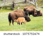 Mother Buffalo  Bison Bison  Is ...