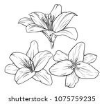lily flower illustration in...   Shutterstock . vector #1075759235