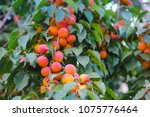 Apricot Tree Branch With Ripe...