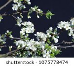 flowering plum backgrounds black | Shutterstock . vector #1075778474
