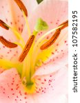 macro shot of pink lily flower - stock photo