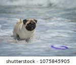 Cute Pug Playing In The Water...