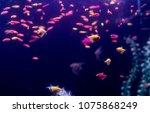 Small photo of Many small fish Ornatus in a dark aquarium. Ternary in the Aquarium. Horizontal photo