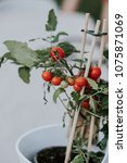 Small photo of Cluster of small cherry tomatoes ripening on the vine in a flowerpot supported by wooden stakes in a close up view