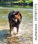 alsatian animal breeds dog... | Shutterstock . vector #1075871771