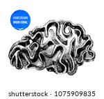 hand drawn brain coral isolated ... | Shutterstock .eps vector #1075909835