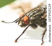 Small photo of Flesh fly - Sarcophagidae insect closeup macro photo