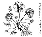 graphic sketch ranunculus....   Shutterstock .eps vector #1075975241