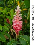 Small photo of A Beautiful Tropical Pink Ginger (Alpinia Purpurata) Flower.