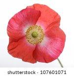 Poppy Flower On White Background - stock photo